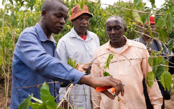 Kenia koffieplant snoeien