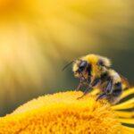 Bijenmuziek om bestuivers te redden