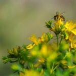 Corona helpt bijencomeback