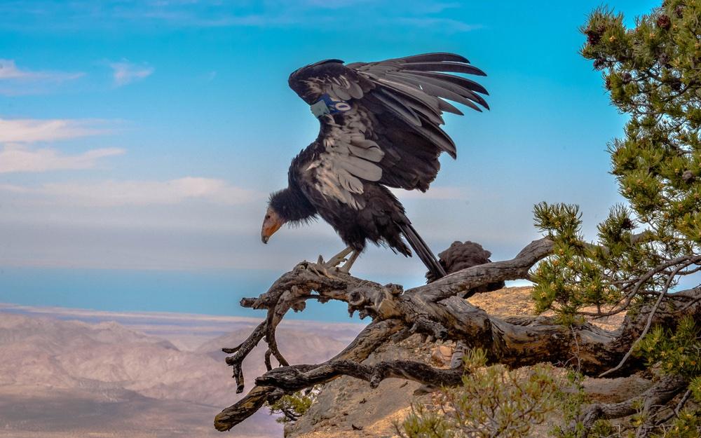 De Californische Condor is terug van weggeweest