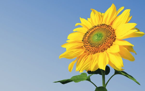Close-up,Of,Fresh,Sunflower,Against,Clear,Blue,Sky